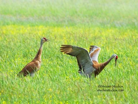 Steider Studios:  Sand Hill Cranes Courting