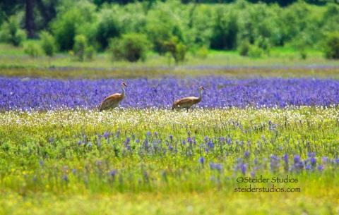 Steider Studios:  Sand Hill Cranes in Camas Field