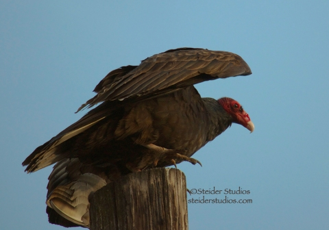 Steider Studios:  Turkey Vulture