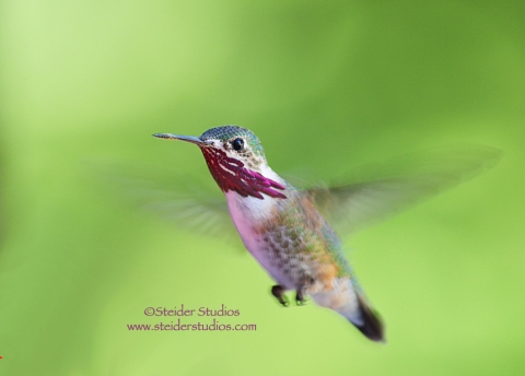 Steider Studios:  Calliope Hummingbird.5.2.13