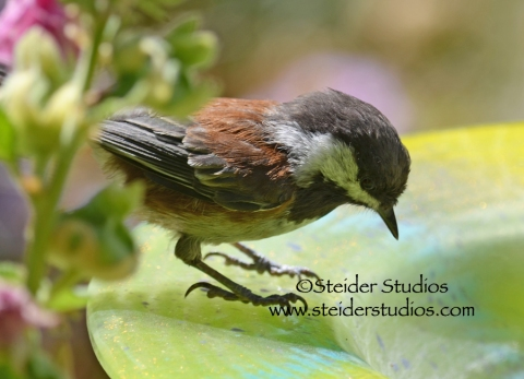 Steider Studios:  Chickadee on my Glass Birdbath