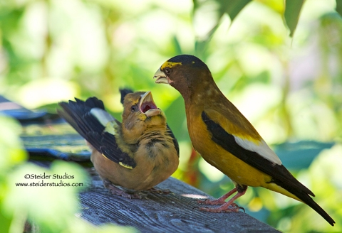 Steider Studios:  Daddy Grosbeak Feeds Baby