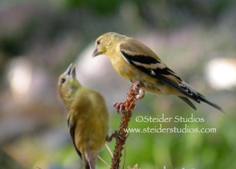 Steider Studios:  Mama Goldfinch