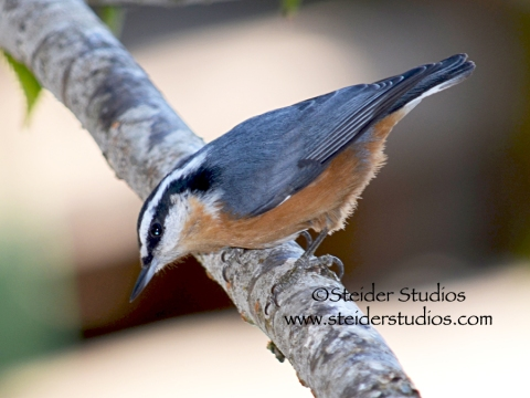 Steider Studios:  Red Breasted Nuthatch.