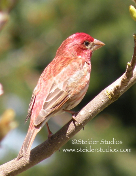 Steider Studios:  Red House Finch