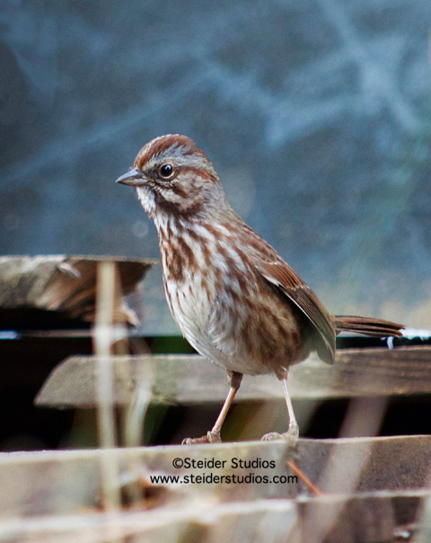 Steider Studios:  Song Sparrow in Woodpile