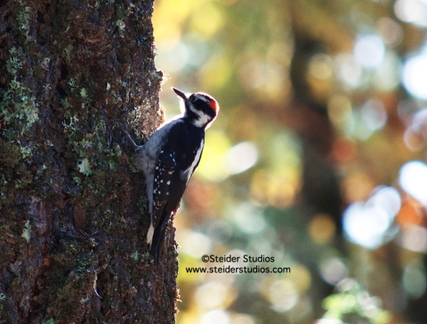 Steider Studios:  Woodpecker in Fall