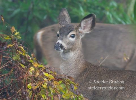 Steider Studios.deer in garden 10.30.14